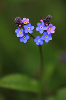 Forget-me-not 3