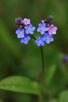 Forget-me-not 4